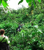 Gorilla trekking in the Virunga Volcanoes National Park