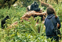 Dian Fossey researched mountain gorillas for 18 years studying Gorilla behaviour