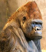 Unusual Golden Gorilla