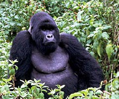 Mountain Gorilla - note the longer hair