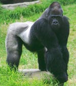Rwandan Mountain Gorilla